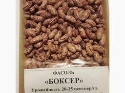 Фасоль Quality 3D beans from Kyrgyzstan - фото 2