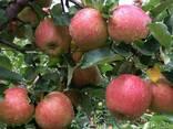 Яблоко - фото 2