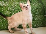 Бенгальские котята - фото 2