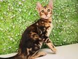 Бенгальские котята - фото 12