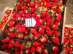 Strawberry Ukraine
